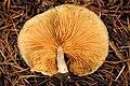 Gymnopilus penetrans - Lindsey 6b.jpg