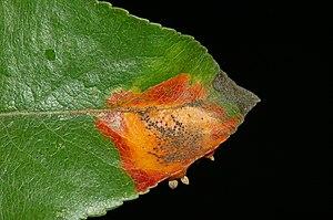 Pucciniomycotina - Gymnosporangium fuscum