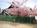 Hôryû-zan En'mei-ji Buddhist Temple - Plum tree.jpg