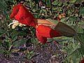 H20140814-3337—Mimulus cardinalis—RPBG (14952977042).jpg