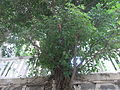 HK Kennedy Town 李寶龍路 Li Po Lung Path stone wall tree Aug-2010 Chinese Banyan.JPG