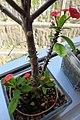 HK TKL 調景嶺 Tiu Keng Leung view 翠嶺路 Chui Ling Road 鐵海棠 green plant n red flowers 虎刺梅 Euphorbia milii May 2018 IX2 06.jpg
