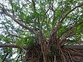 HK Wan Chai Park Cross Lane Bullock Lane entrance Banyan crown trees rock stone wall Aug-2015 DSC.JPG