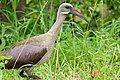 Hadada Ibis (Bostrychia hagedash) (15842272853).jpg