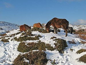 Hairy ponies 2 - geograph.org.uk - 1655061.jpg