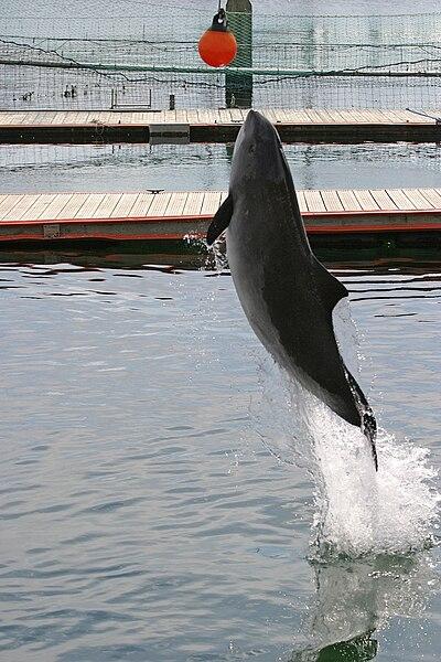 File:Harbor Porpoise Fjord Baelt Denmark.JPG