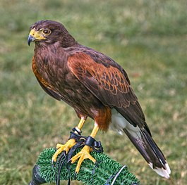 Harris Hawk, Leeds Castle, England - Aug 2009.jpg