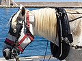 Head of carriage horse in Chania, Creta 06.jpg