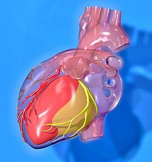 Anterior interventricular branch of left coronary artery - Image: Heart coronary territories