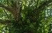 Hedera helix clinging on Platanus x hispanica, Agde, Hérault.jpg