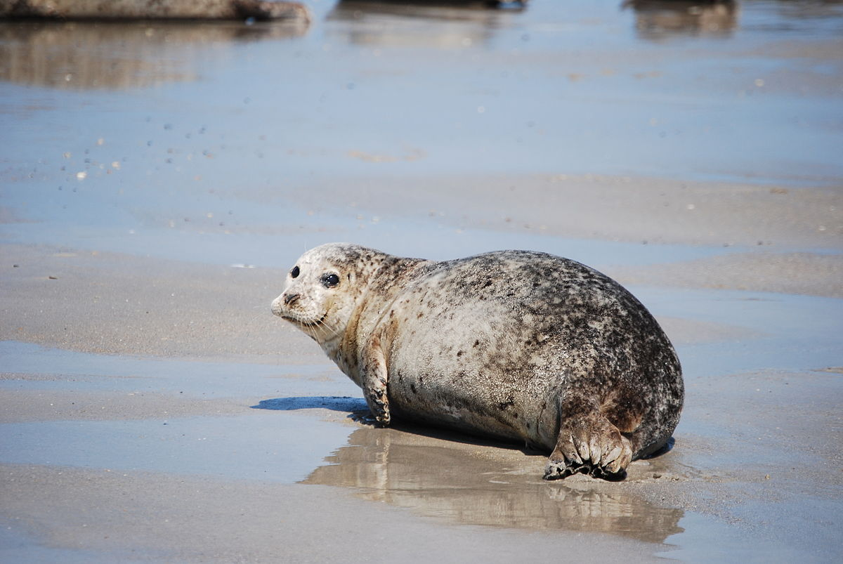 seal harbor cougars personals While going hunting for halibut one day i found my gun unloaded and camera out while i played with this puppy like harbor seal for over an hour enjoy.