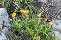 Helianthemum italicum var. alpestre at Col de Coux (3).jpg