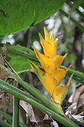 Heliconia caribaea (bibi) - El Yunque nat park PR IMG 2018.JPG
