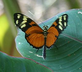 Heliconius ismenius clarescens 1.jpg