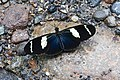 Heliconius wallacei flavescens (Nymphalidae- Heliconiinae- Heliconiini) (29749638885).jpg