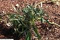 Helleborus foetidus 4zz.jpg