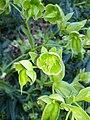 Helleborus foetidus 5.jpg