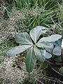 Helleborus niger leaf RHu.JPG