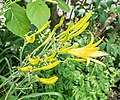 Hemerocallis citrina in Jardin des 5 sens (1).jpg