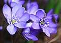 Hepatica (14949708940).jpg