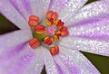 Herb-Robert (Geranium robertianum) close-up (9194673524).jpg