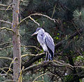 Heron in Tree (5786590477).jpg