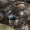 Herrerillo en nido (Parus caeruleus) Blue tit feeding brood.jpg