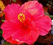 Hibiscus eight.jpg
