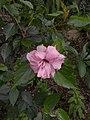 Hibiscus rosa sinensis plenus-3-bsi-yercaud-salem-India.jpg