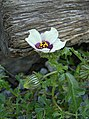 Hibiscus trionum 2012-09-29 Cranberry-01.jpg