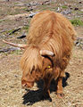 Highland cattle5.jpg