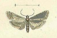 Homoeosoma nimbella.JPG