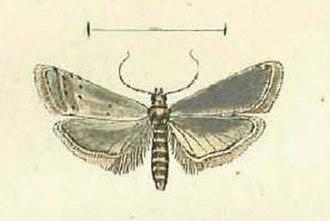 Homoeosoma nimbella - Image: Homoeosoma nimbella