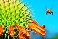 Honey Bee and Wild Dagga plant 01.jpg