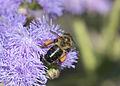 Honeybee - Balarısı 01.jpg