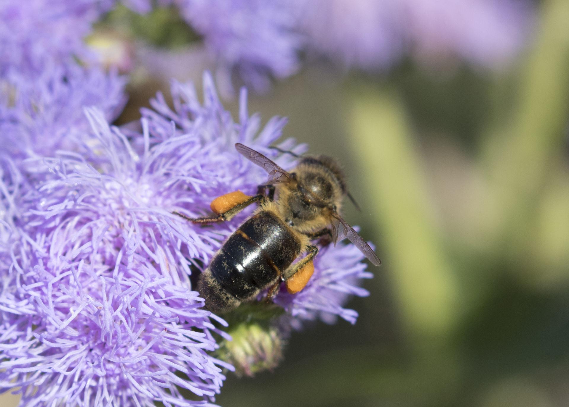 Caucasian Honey Bee Wikipedia