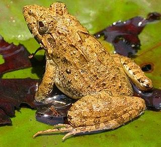 <i>Hoplobatrachus tigerinus</i> species of amphibian