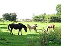 Horses and ponies on the Wherryman's Way - geograph.org.uk - 1493106.jpg