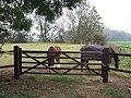 Horses opposite Manor Farm, Willoughby - geograph.org.uk - 595863.jpg