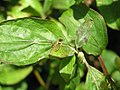 Hover-fly (Sphaerophoria Scripta) 'Female' (3269539568).jpg