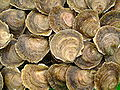 Huîtres plates de Logonna-Daoulas.JPG