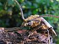 Huhu beetle 07.jpg