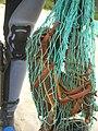 Hummer im Netz lobster (24005421251).jpg