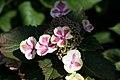 Hydrangea macrophylla Angel Lace 0zz.jpg