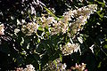 Hydrangea paniculata IMG 7772.JPG