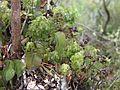 Hymenophyllum+Hymenoglossum Chiloe.JPG