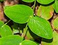 Hypericum androsaemum in Aveyron (3).jpg
