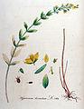 Hypericum hirsutum — Flora Batava — Volume v10.jpg