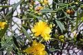 Hypericum kalmianum Gemo 1zz.jpg