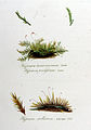 Hypnum proliferum — Flora Batava — Volume v11.jpg